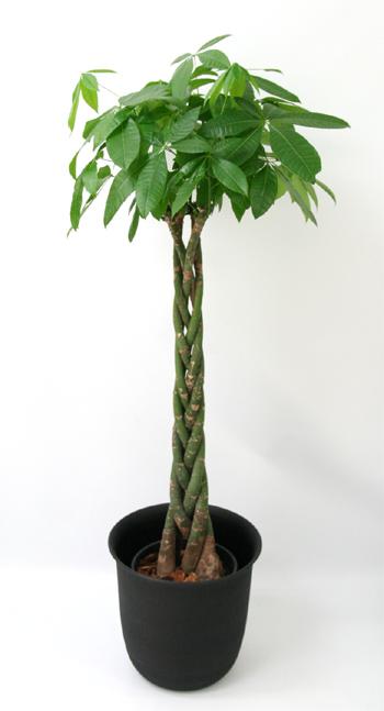 開店祝いの定番観葉植物・パキラ/周年祝い・移転祝いの観葉植物を名古屋市内に配達いたします